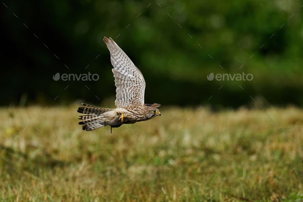 Common kestrel (Falco tinnunculus) - Stock Photo - Images