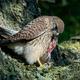 Common kestrel (Falco tinnunculus) - PhotoDune Item for Sale