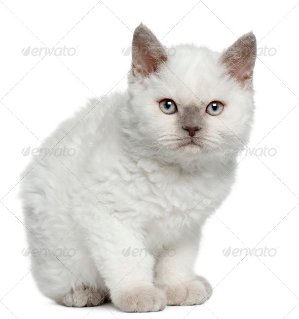 Selkirk Rex kitten (11 weeks old) - Stock Photo - Images