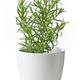 rosemary plant in flower pot - PhotoDune Item for Sale
