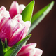 Bouquet of beautiful pink and white tulips with dew drops - PhotoDune Item for Sale