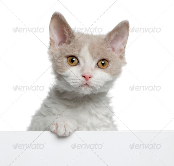 Selkirk Rex kitten (11 weeks old) - Stock Photo - Images
