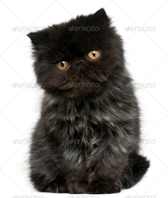 Persian kitten (3 months old) - Stock Photo - Images