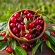 Ripe sour cherries - PhotoDune Item for Sale