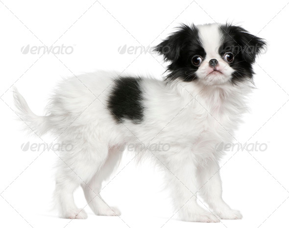 Japanese Chin puppy (3 months old) - Stock Photo - Images