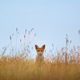 Young Red fox - PhotoDune Item for Sale