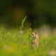 European ground squirrel - PhotoDune Item for Sale