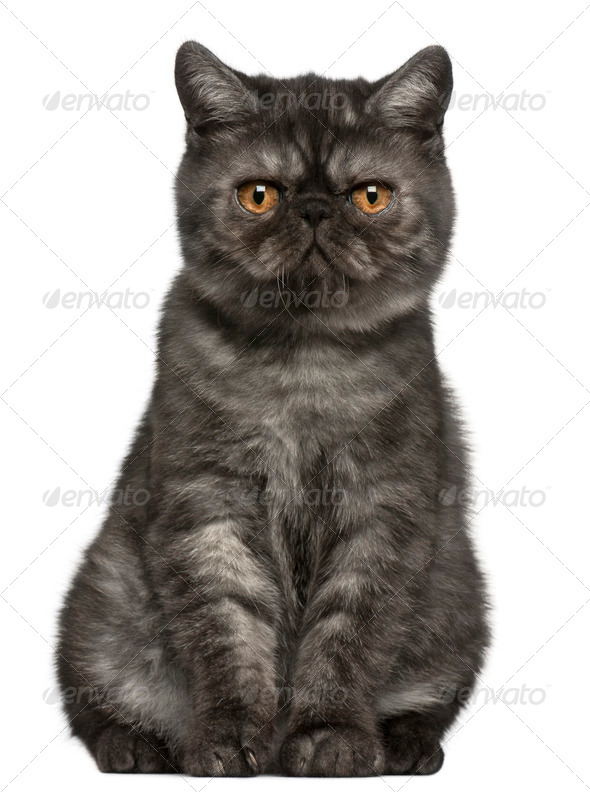 Exotic Shorthair kitten (4 months old) - Stock Photo - Images