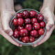 Boy holding a bowl of fresh ripe red cherries - PhotoDune Item for Sale
