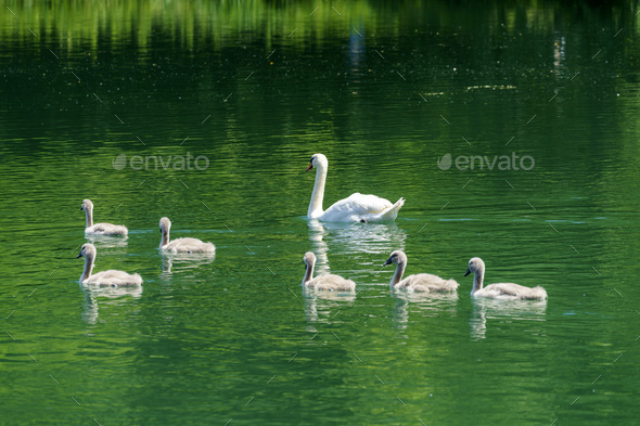 Swans on the Adda river at Imbersago - Stock Photo - Images