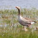 Greylag goose mother with her juveniles walking in swamp - PhotoDune Item for Sale