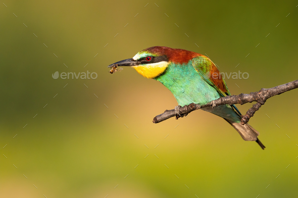 Colorful european bee-eater eating insect on a branch in summer - Stock Photo - Images