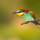 Colorful european bee-eater eating insect on a branch in summer - PhotoDune Item for Sale