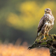 Common buzzard sitting on branch in summer with copy space - PhotoDune Item for Sale