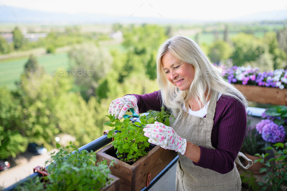 Senior woman gardening on balcony in summer, cutting herbs - Stock Photo - Images