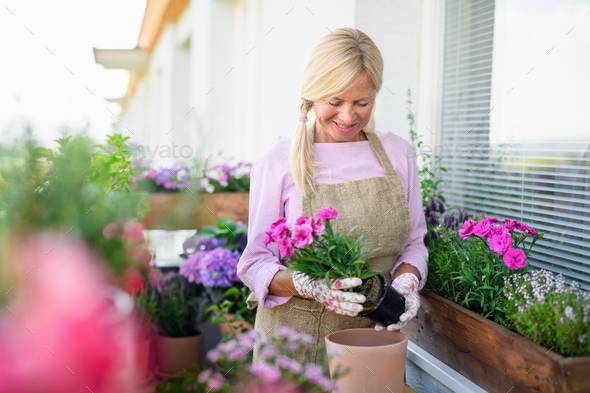 Senior woman gardening on balcony in summer, planting flowers - Stock Photo - Images