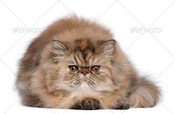 Persian (6 months old) - Stock Photo - Images