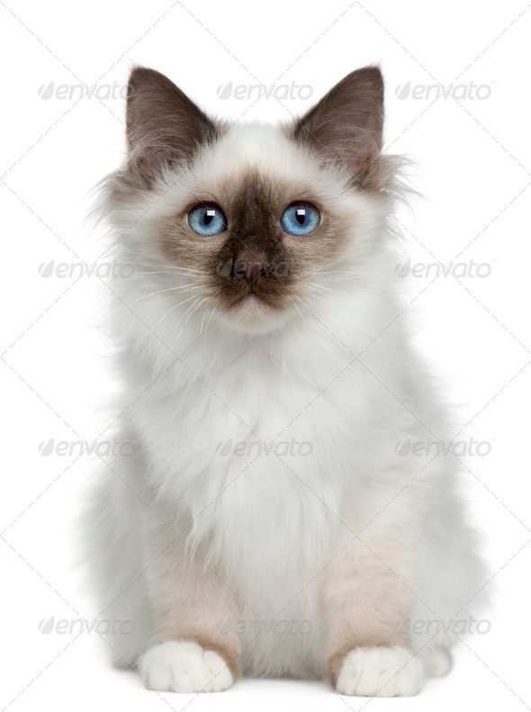 Birman kitten (4 months old) - Stock Photo - Images