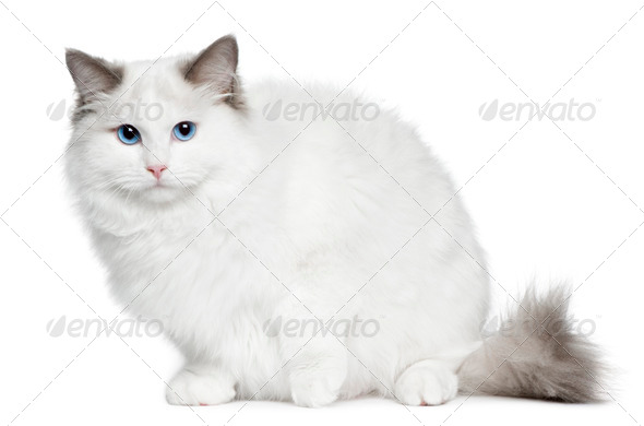 Ragdoll (6 months old) - Stock Photo - Images