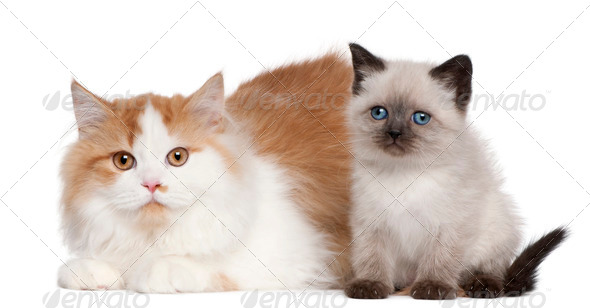 British Shorthair kitten (2 months old), British Longhair (5 mon - Stock Photo - Images