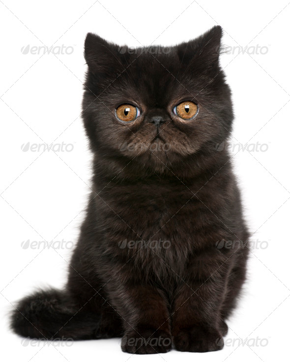 Exotic Shorthair kitten (4 months old), Exotic Shorthair kitten - Stock Photo - Images