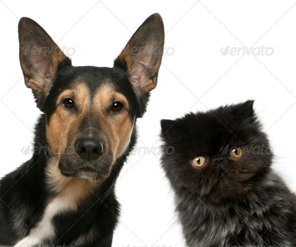 Persian kitten and a Mixed-breed dog in front of white background - Stock Photo - Images