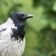 Hooded crow a portrait - PhotoDune Item for Sale
