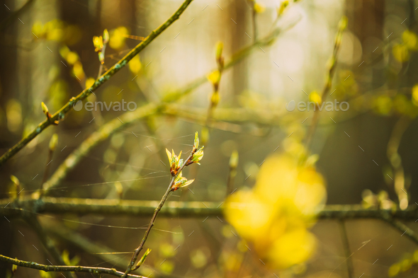 Young Spring Green Leaf Leaves Growing In Branch Of Forest Bush Plant Tree During Sunrise Or Sunset - Stock Photo - Images
