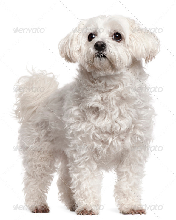 Maltese (11 years old) - Stock Photo - Images