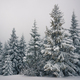 Bottom view beautiful slender snowy fir trees - PhotoDune Item for Sale