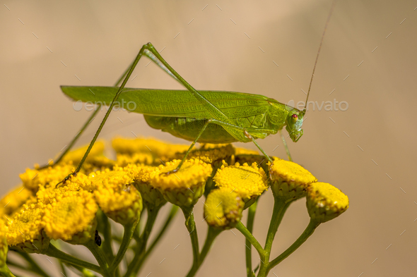 Sickle bearing bush cricket - Stock Photo - Images