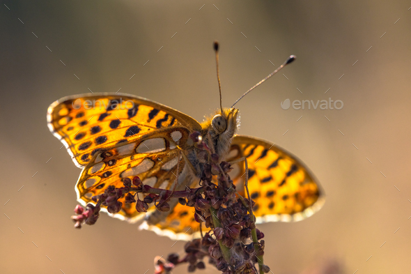 Queen of Spain fritillary - Stock Photo - Images