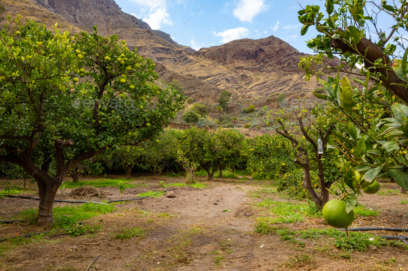 Road Amidst Organic Orange Trees At Orchard - Stock Photo - Images