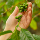 Close-Up Of Woman Inpects Fresh Coffee Fruits on Twig - PhotoDune Item for Sale