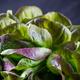 Organic Red Oakleaf lettuce - PhotoDune Item for Sale