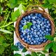 Blueberry. Fresh berries with leaves in basket in a garden. Harvesting blueberry - PhotoDune Item for Sale