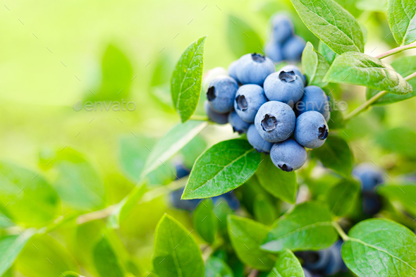 Blueberry. Fresh berries with leaves on branch in a garden. - Stock Photo - Images