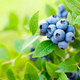 Blueberry. Fresh berries with leaves on branch in a garden. - PhotoDune Item for Sale