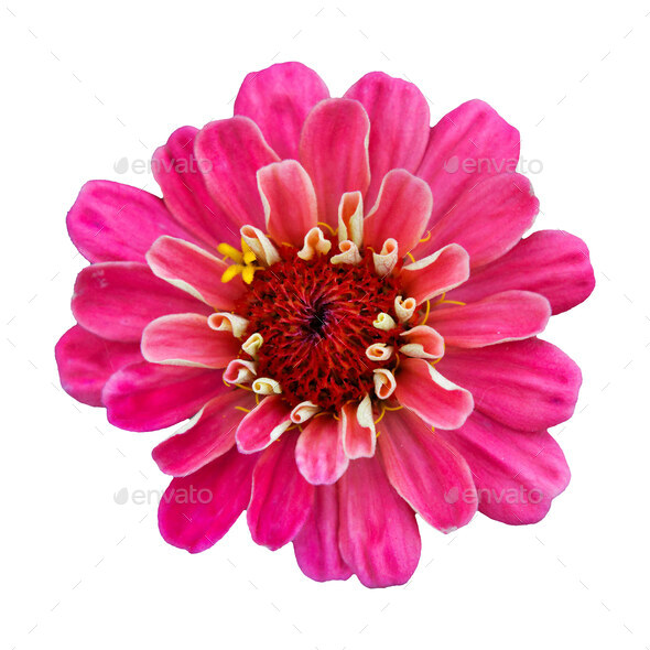 Beautiful pink flower zinnia isolated. - Stock Photo - Images