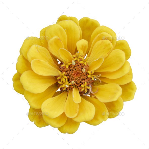 Beautiful yellow flower zinnia isolated. - Stock Photo - Images