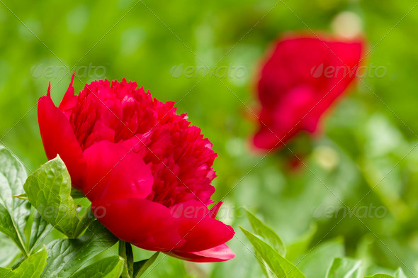 Red Paeon flowers - Stock Photo - Images
