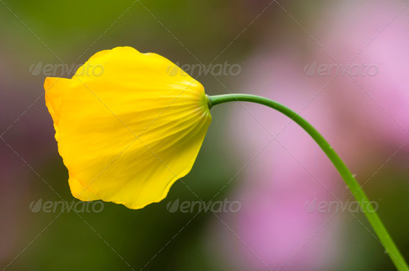 Yellow Poppy flower - Stock Photo - Images