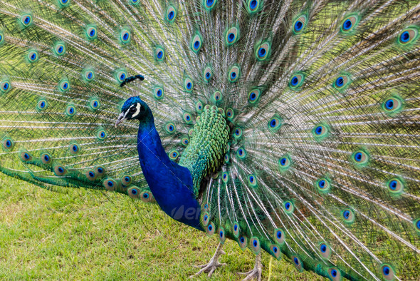 male peacock - Stock Photo - Images