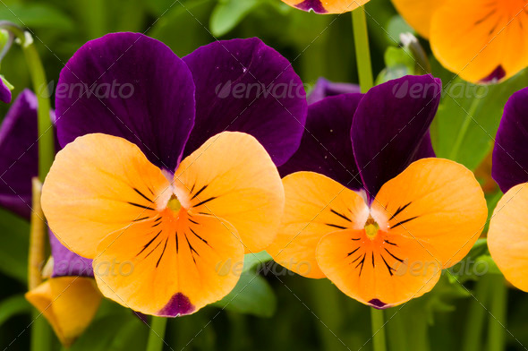 Pansy flowers - Stock Photo - Images
