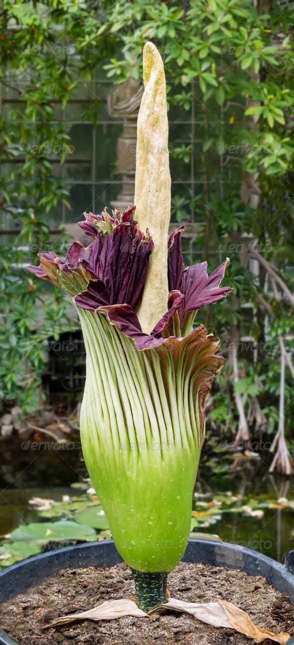 Amorphophallus titanum, titan arum, corpse flower - Stock Photo - Images