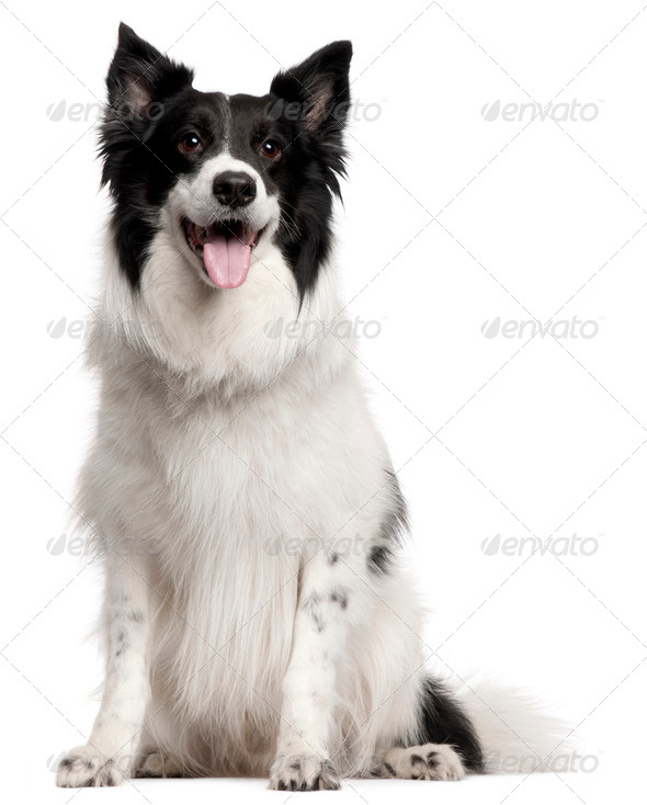 Chihuahua (10 months old), Border Collie (8 years old) - Stock Photo - Images