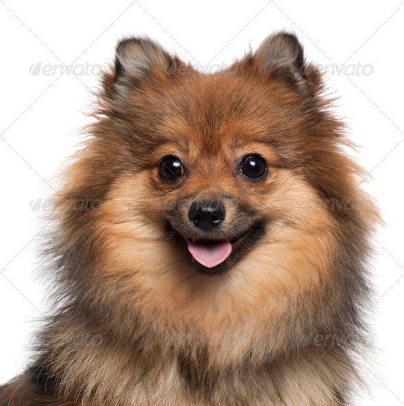 German Spitz (8 months old) - Stock Photo - Images