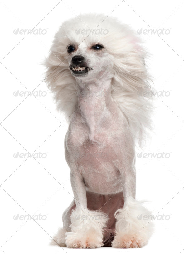 Chinese Crested Dog (1 year old) - Stock Photo - Images
