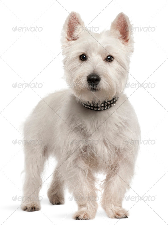 West Highland White Terrier (8 months old) - Stock Photo - Images