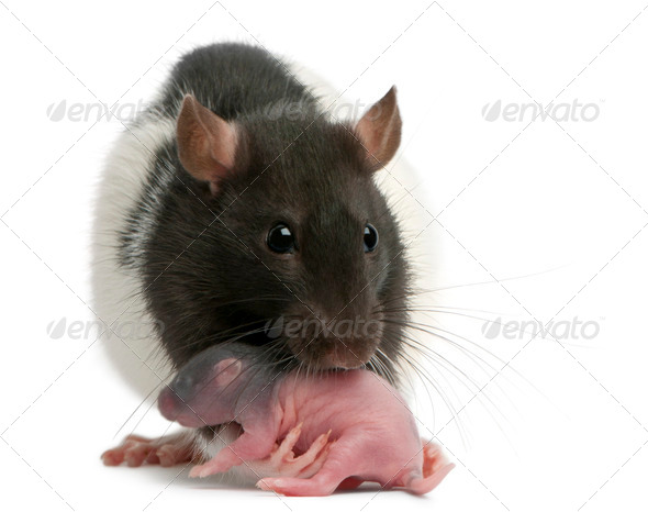 Mother rat carrying her baby in her mouth, 5 days old, in front of white background - Stock Photo - Images